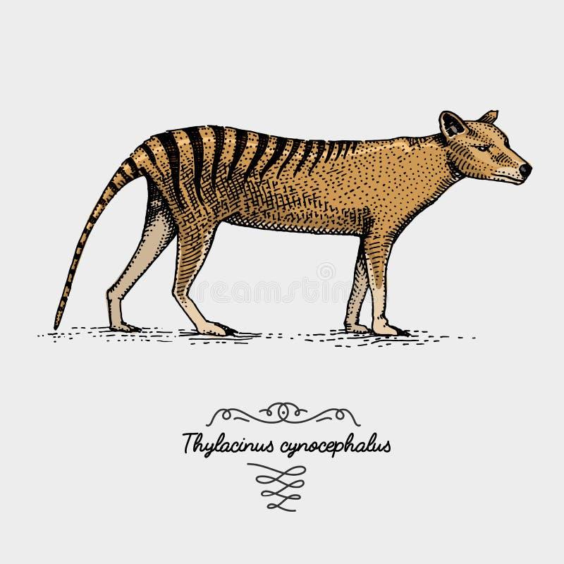 被刻记的塔斯马尼亚的狼袋狼属狗头畸形,在木刻scratchboard样式的手拉的传染媒介例证,葡萄酒 皇族释放例证