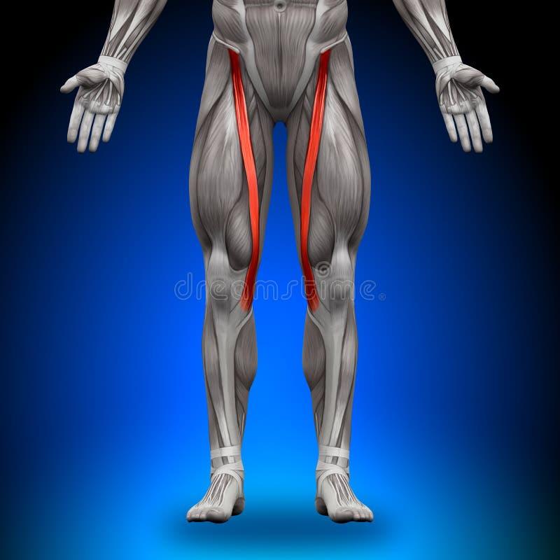 裁缝机-解剖学肌肉 向量例证