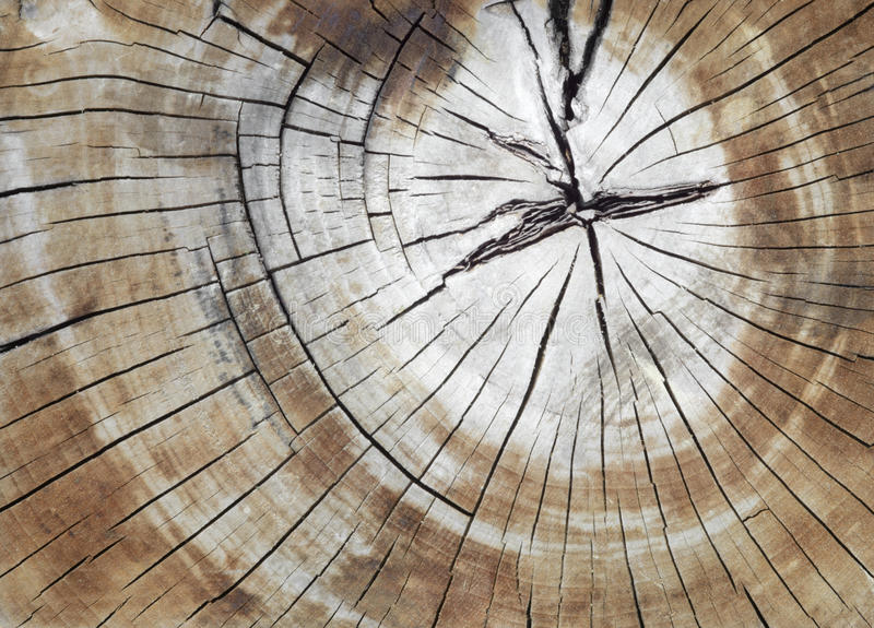 破裂的杉木树树干在横断面 免版税库存图片