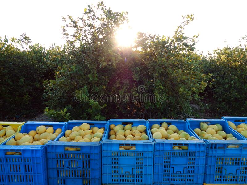 装满柠檬的水果盒 工人们摘柠檬,拿篮子把柠檬装进盒子里,西班牙穆尔西亚 免版税图库摄影