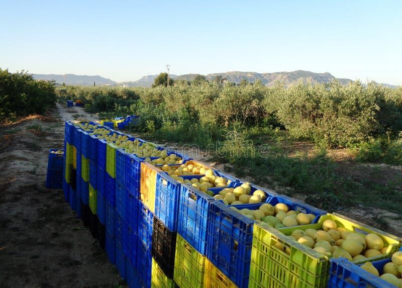 装满柠檬的水果盒 工人们摘柠檬,拿篮子把柠檬装进盒子里,西班牙穆尔西亚 库存图片