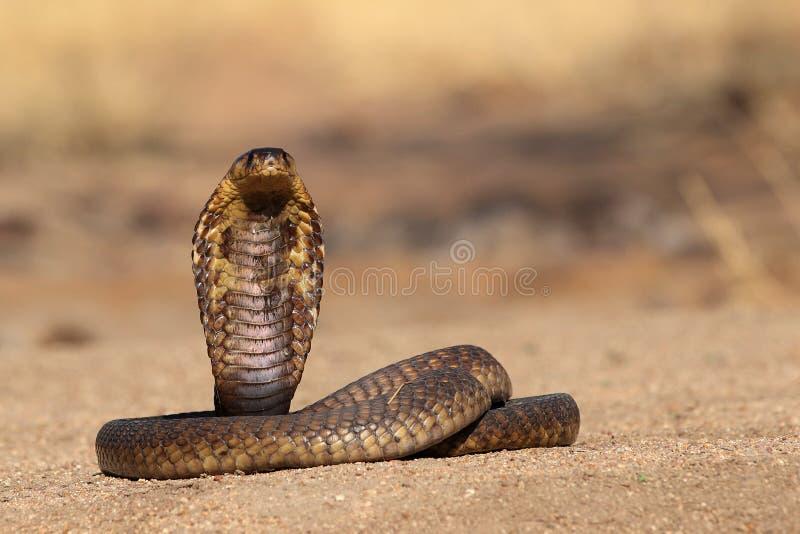 装管嘴的眼镜蛇 免版税库存照片
