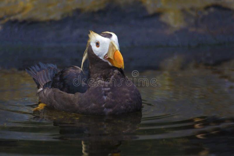 装缨球海鹦的接近的侧视图 图库摄影