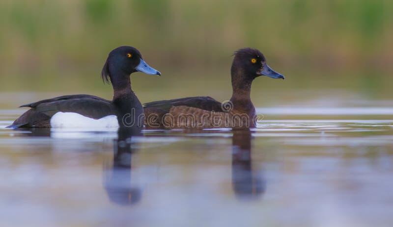 装缨球鸭子- Aythya fuligula -对 库存照片