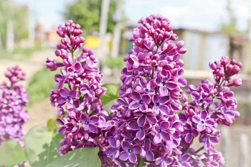 装饰丁香明亮的紫色花  开花的丁香大群 库存照片