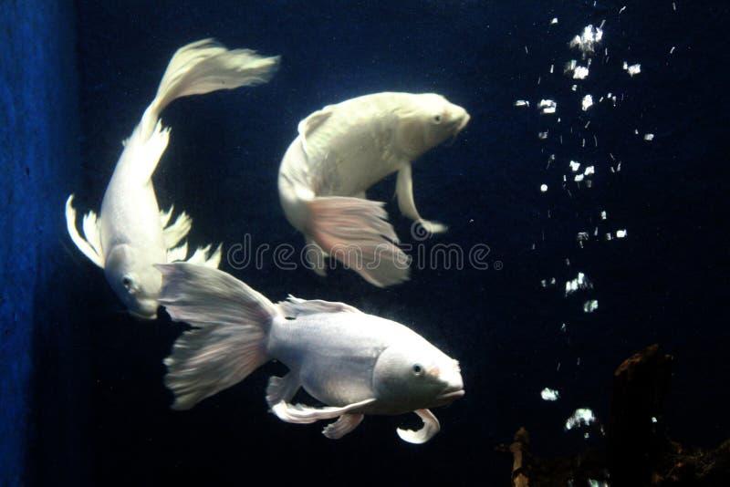 装饰从印度尼西亚的鱼长尾巴飞翅热带鱼 免版税库存图片