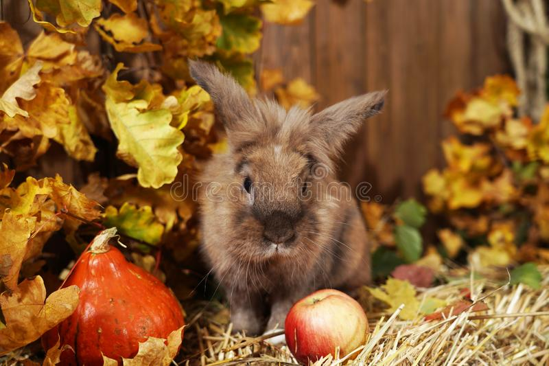 装饰兔子在秋天地点,坐秸杆干草堆与他的耳朵的上升了 免版税库存照片