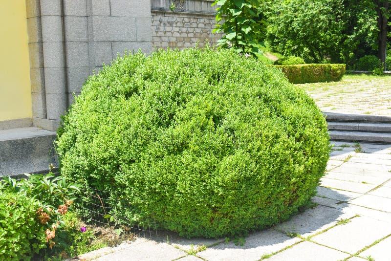 装饰和形状的常青小组黄杨木潜叶虫植物黄杨属Sempervirens在葡萄酒英国庭院里 库存图片