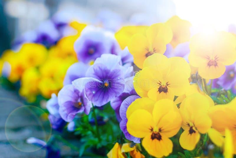 装饰城市的淡紫色和黄色紫罗兰 城市种植 都市植物群 ?? 免版税库存照片