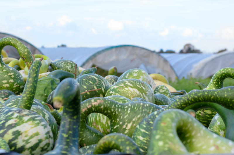 装饰杂色的绿色金瓜 免版税库存图片
