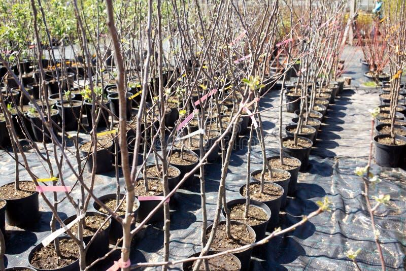 装饰树在苗圃植物中 库存照片