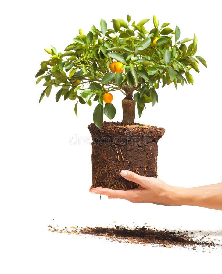 装饰橘树在手上 免版税库存图片
