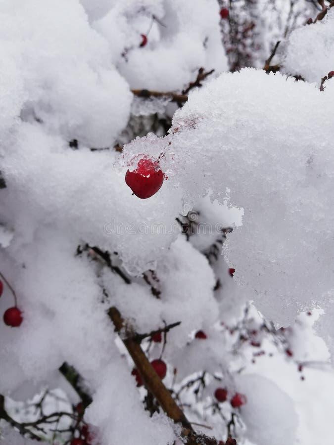 装饰灌木用美丽的红色山楂树莓果盖了雪和冰 免版税库存照片
