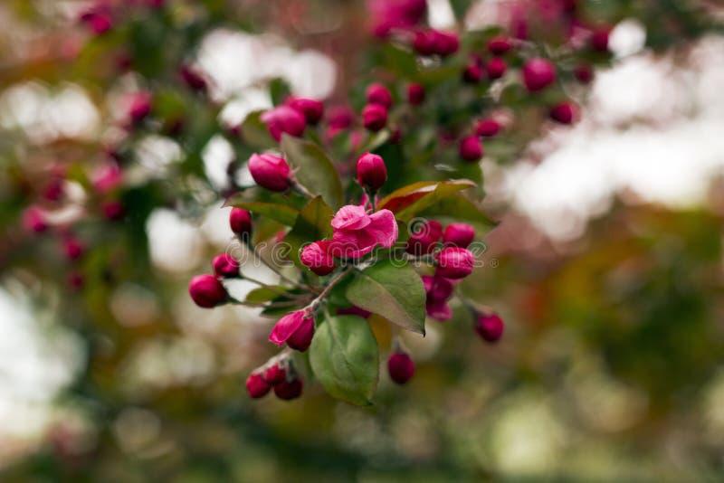 装饰狂放的皇族苹果树开花 免版税库存图片