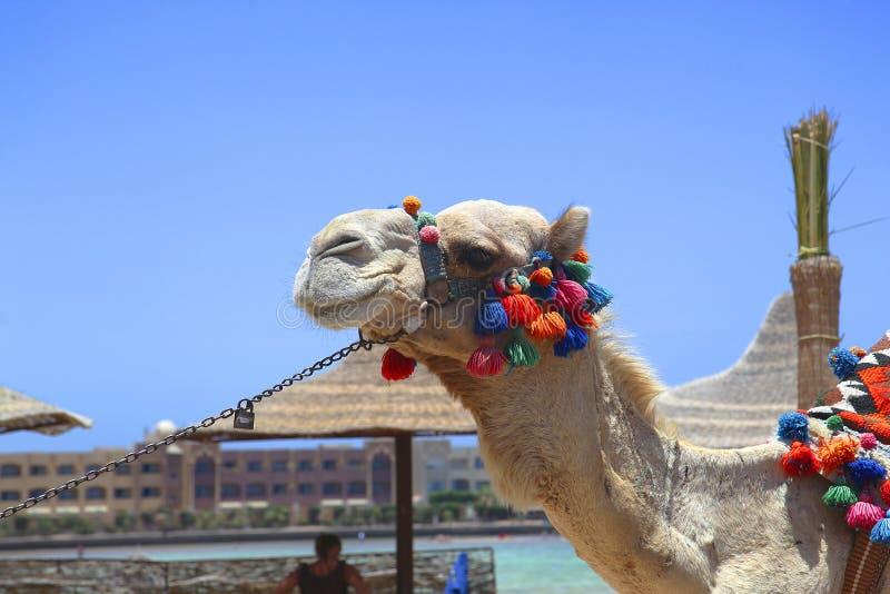装饰的埃及骆驼 库存照片