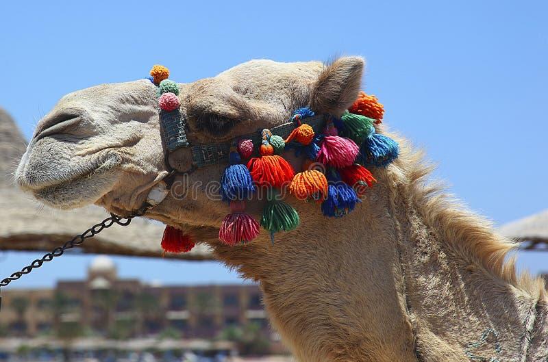 装饰的埃及骆驼 库存图片