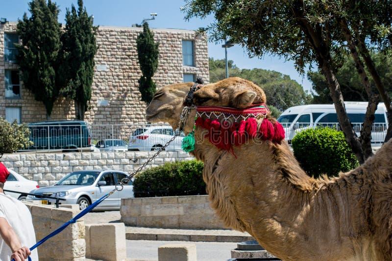 装饰的骆驼在耶路撒冷以色列 库存照片