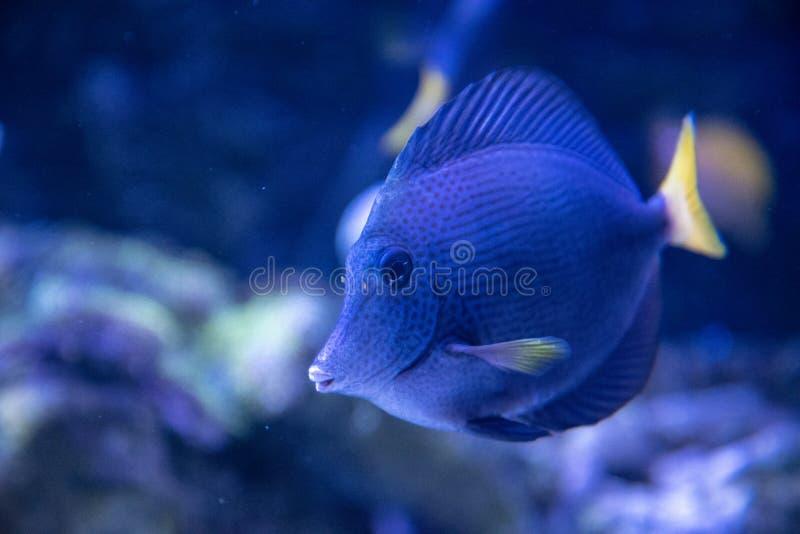 装饰鱼热带鱼蝴蝶鱼 库存照片