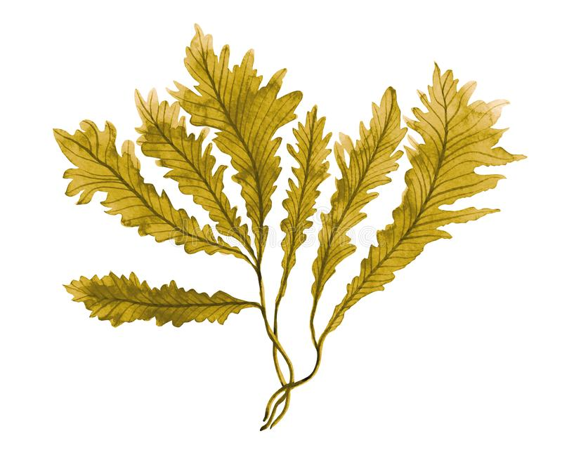 褐海藻,海带在海洋,在白色背景隔绝的水彩手画元素 水彩褐海藻illustrat 库存例证