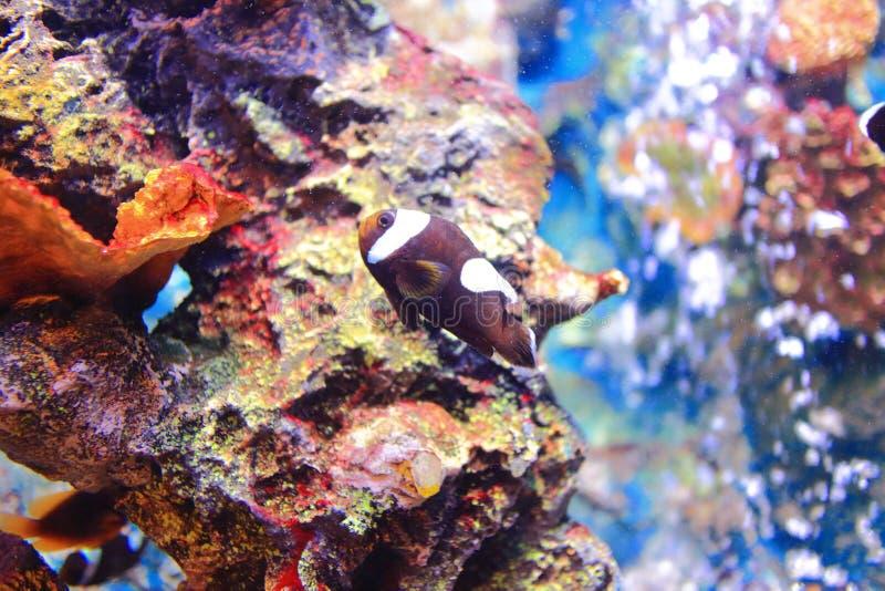 褐红的Clownfish 免版税库存照片