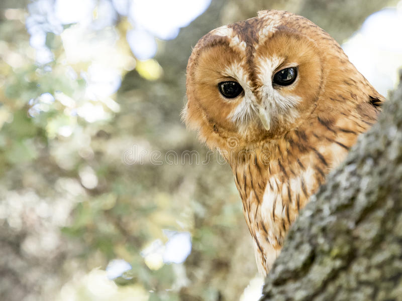 黄褐色的猫头鹰猫头鹰类aluco在一棵树的特写镜头画象在为 库存图片