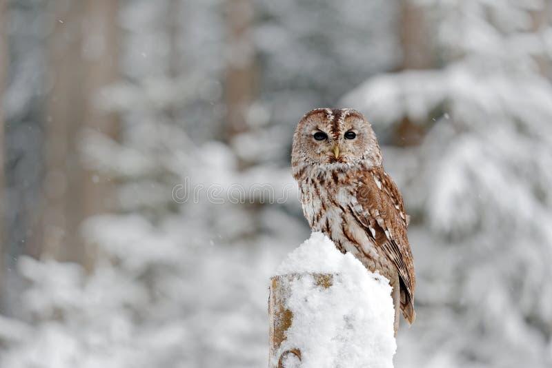 黄褐色的猫头鹰积雪在降雪在冬天期间,多雪的森林在背景,自然栖所中 从斯洛伐克的野生生物场面 冷的w 免版税图库摄影