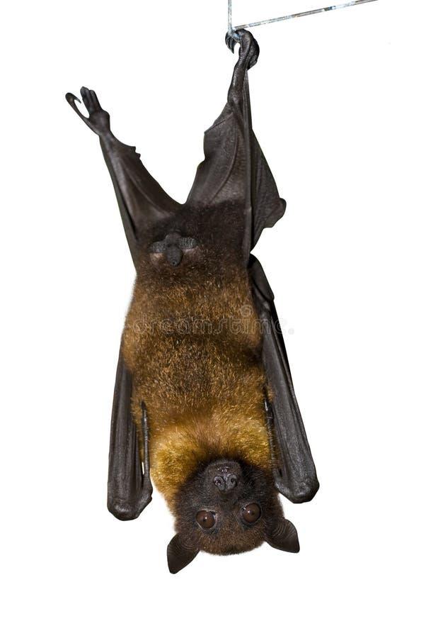 褐色蝙蝠 免版税库存照片