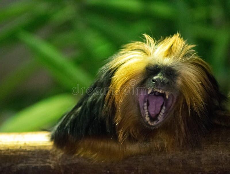 褐色,黑模糊,毛茸的猴子 免版税库存照片