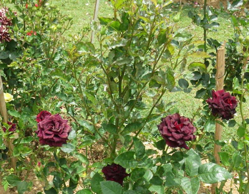 褐紫红色玫瑰 免版税库存照片