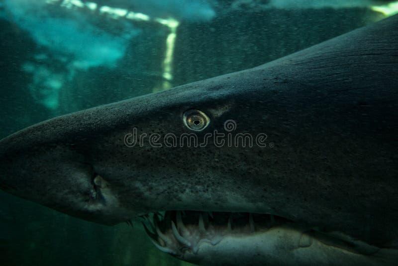 褴褛鲨鱼牙 免版税库存照片
