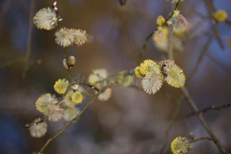 褪色柳在早期的春天 免版税库存图片
