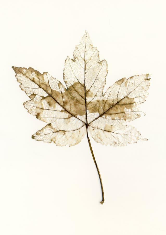褴褛的叶子 免版税库存图片