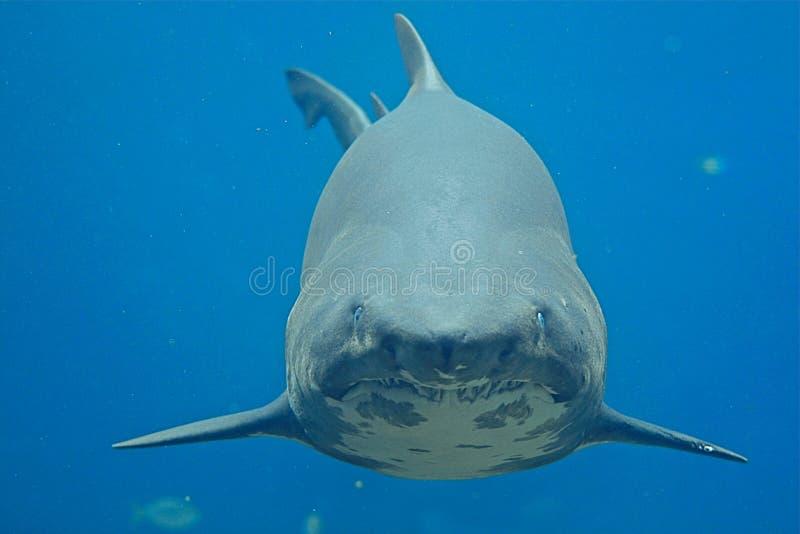 褴褛鲨鱼牙 库存照片