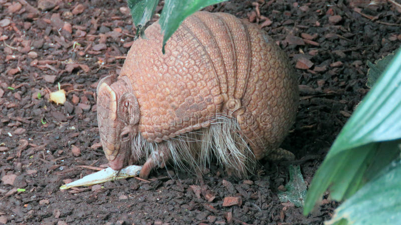 巴西人三被结合的犰狳(Tolypeutes tricinctus) 免版税库存图片