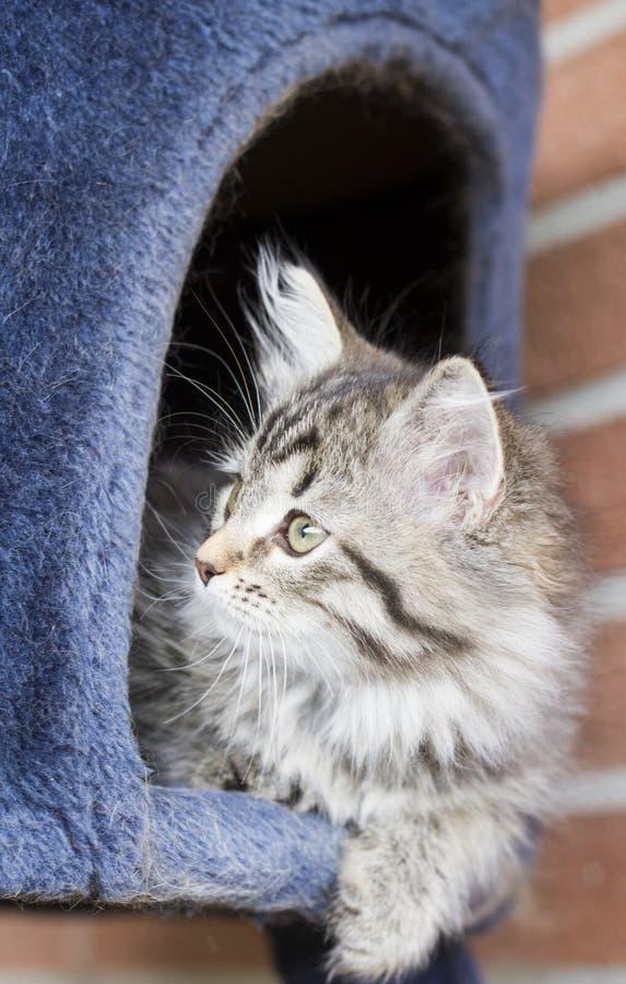西伯利亚品种小的棕色猫在抓的两个月 库存图片