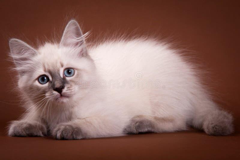 西伯利亚小猫开会 库存图片