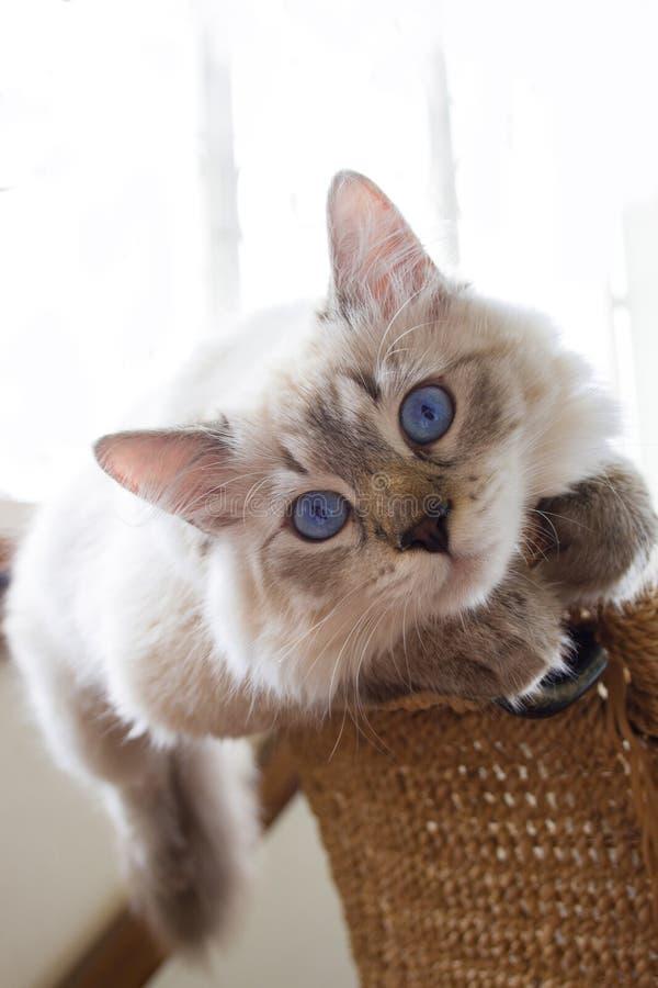 西伯利亚小猫6个月 免版税库存图片