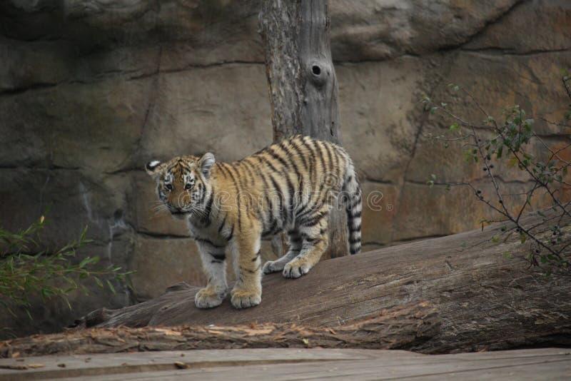 西伯利亚幼小老虎接近的射击  库存照片