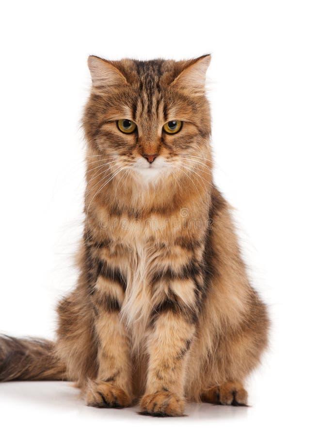 西伯利亚成猫 库存照片