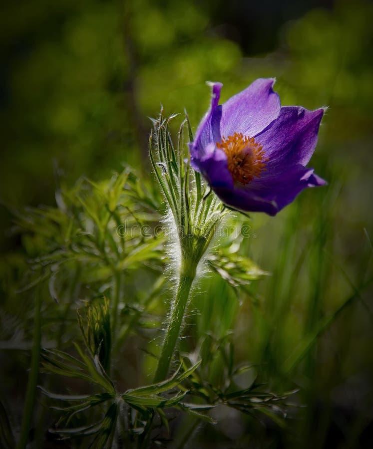 西伯利亚春天-睡眠草的标志 免版税库存照片