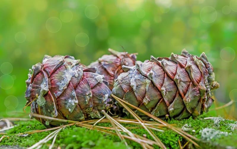 西伯利亚杉木PÃnus sibÃrica的大成熟锥体在绿色森林青苔的, 免版税图库摄影