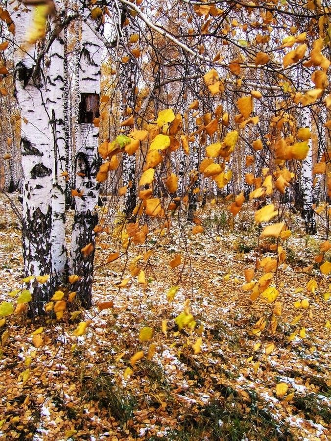 西伯利亚桦树森林在秋天 库存照片
