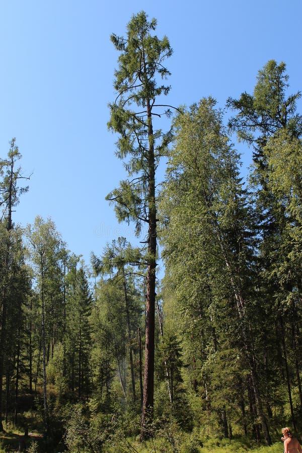 西伯利亚森林taiga 台面呢 桦树林木根 库存图片