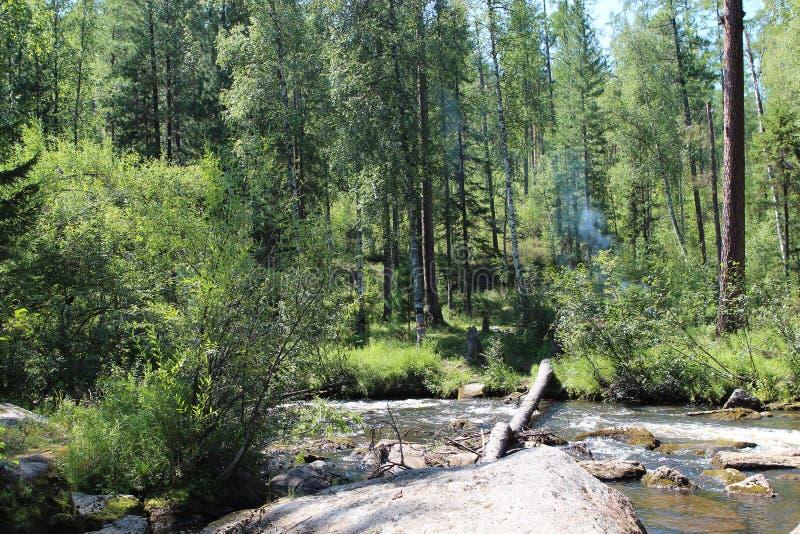 西伯利亚森林taiga 台面呢 桦树林木根 图库摄影