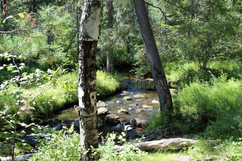 西伯利亚森林taiga 台面呢 桦树林木根 库存照片
