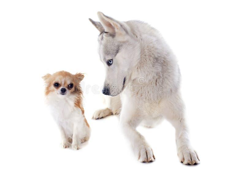 西伯利亚爱斯基摩人和奇瓦瓦狗 库存图片