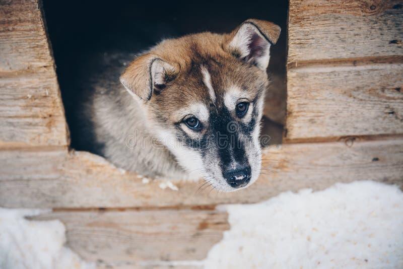 西伯利亚爱斯基摩人小狗在雪冬天芬兰,拉普兰 免版税库存图片