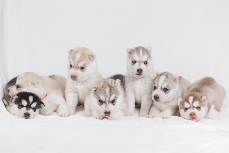 西伯利亚爱斯基摩人小狗2个月 库存照片