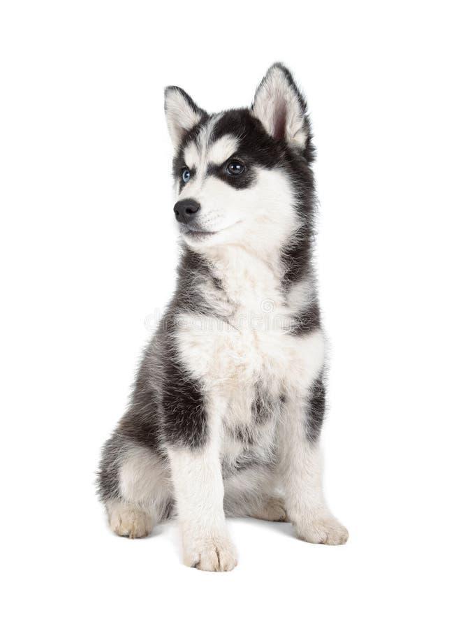 西伯利亚爱斯基摩人小狗 库存图片