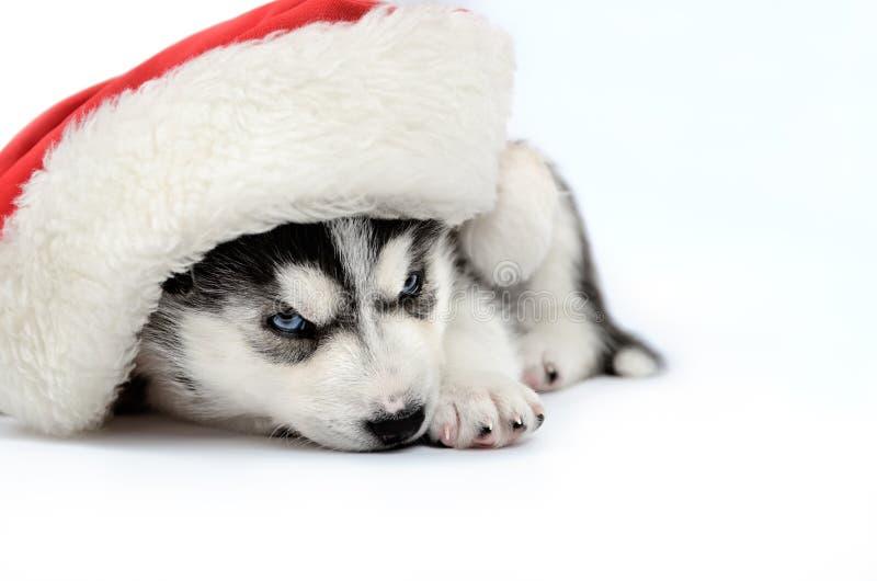 西伯利亚爱斯基摩人小狗 库存照片